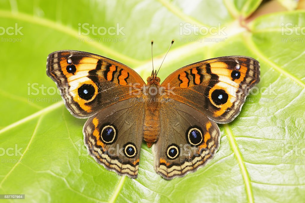 Common Buckeye butterfly resting on a leaf stock photo