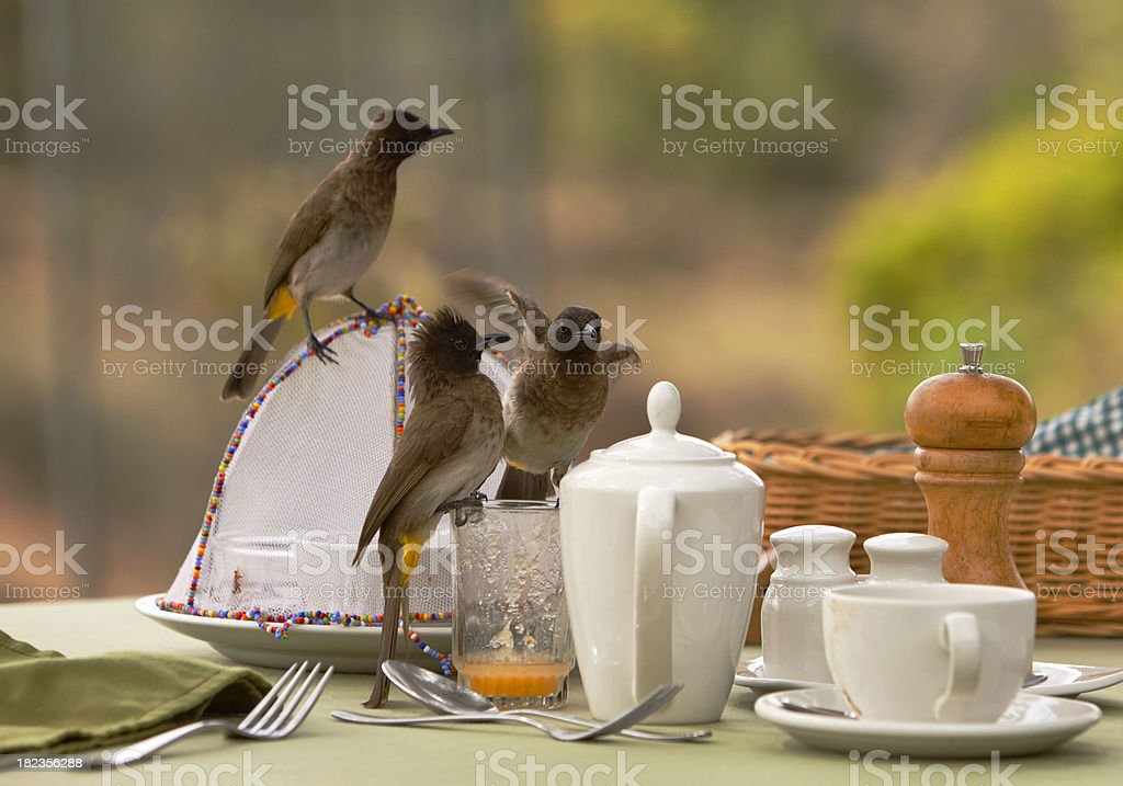 Common Bulbuls sharing breakfast. stock photo