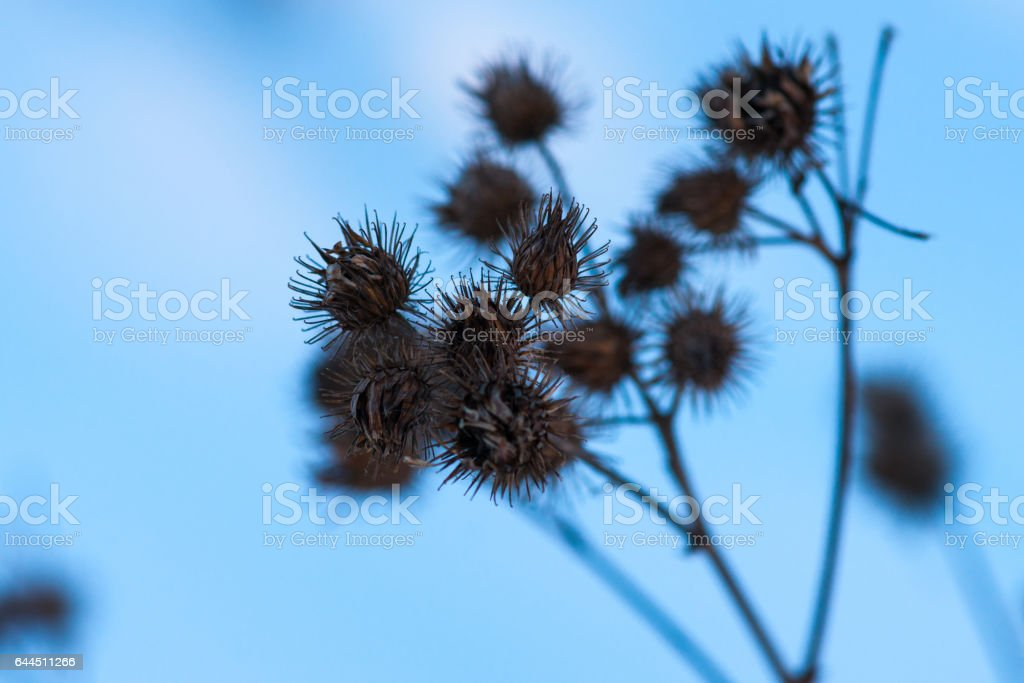 Common burdock stock photo