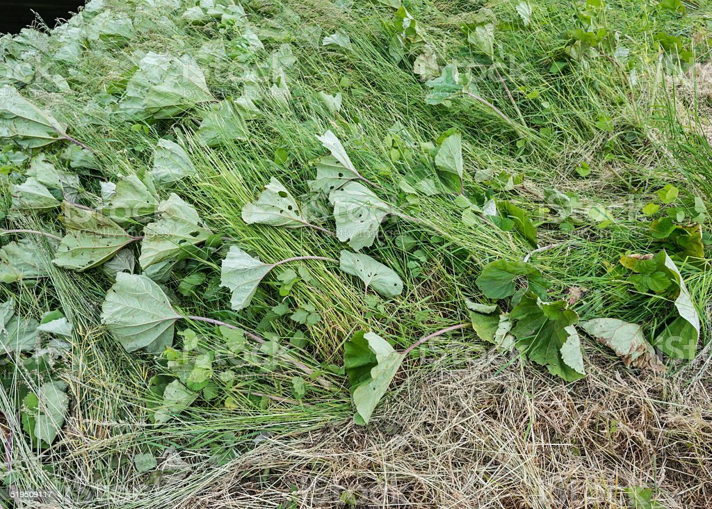 Common Butterbur on a Dutch dike in the storm stock photo