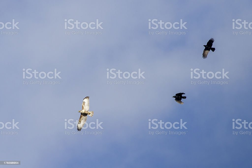 common buzzard being chased royalty-free stock photo