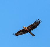 Common buzzard gliding