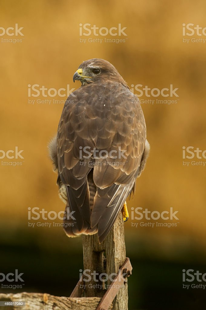 Common Buzzard (Buteo buteo) perched on old gate post stock photo