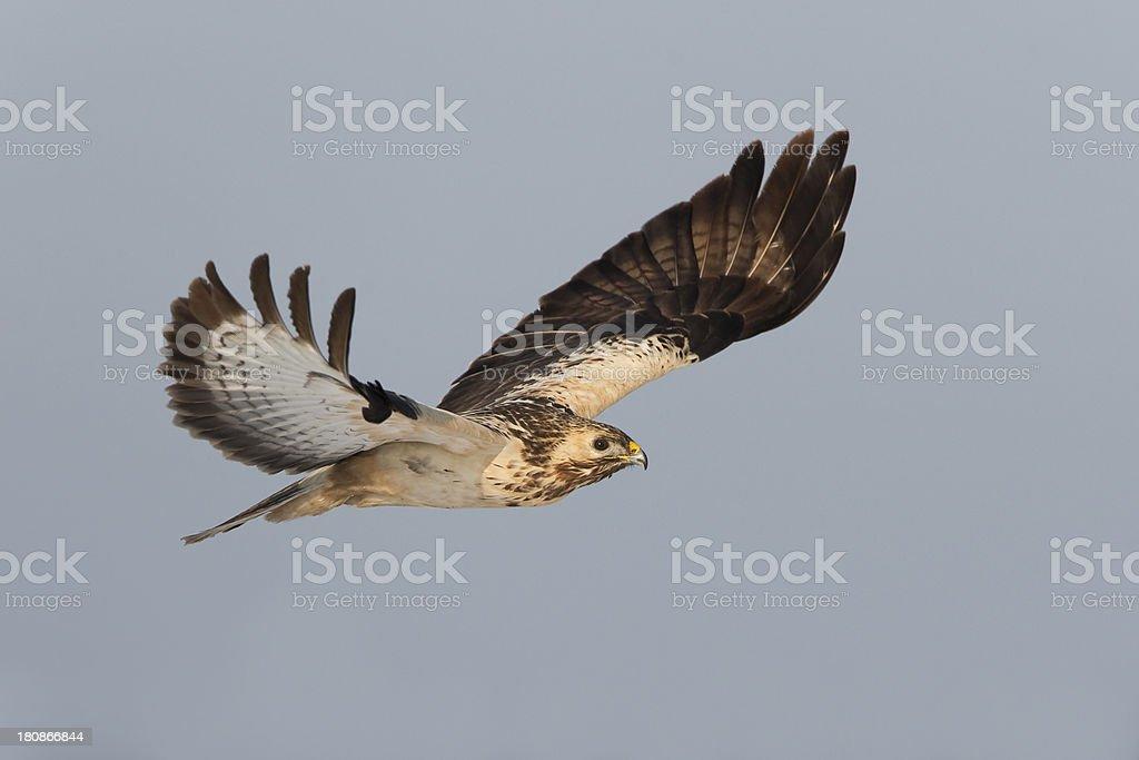 Common Buzzard royalty-free stock photo