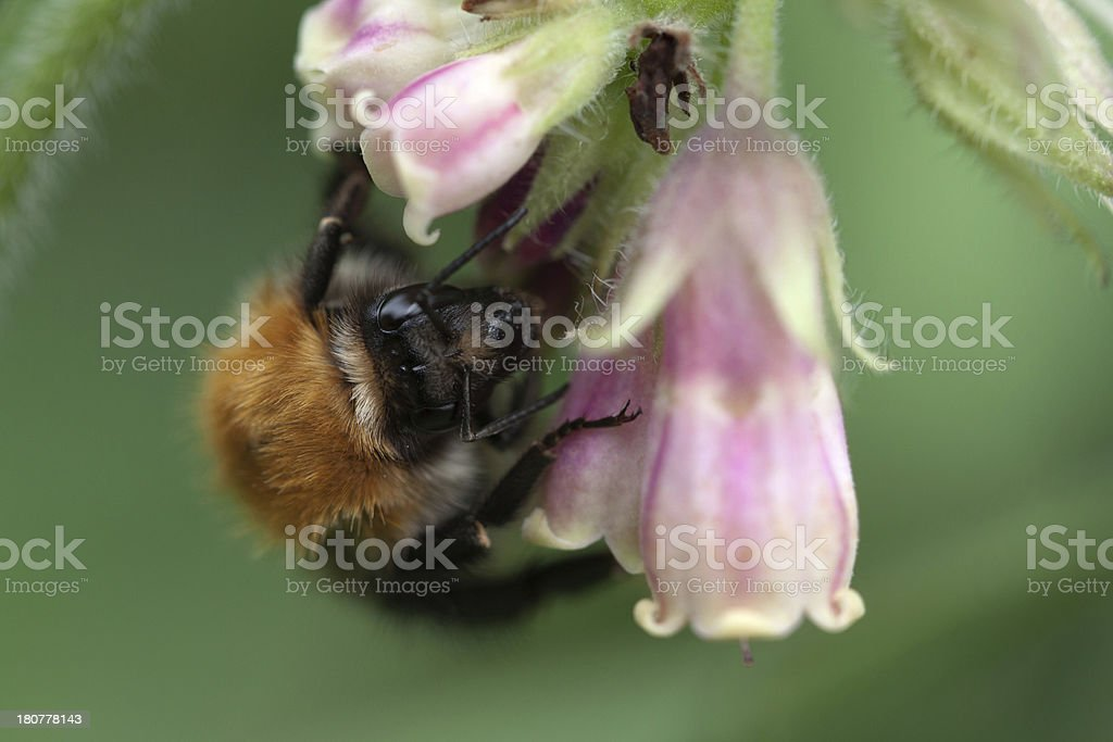Common Carder Biene Lizenzfreies stock-foto