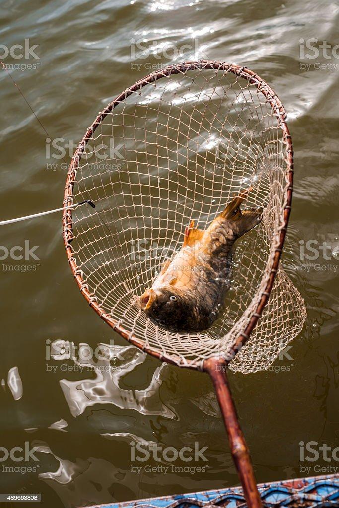 Common carp caught in fishing net. stock photo
