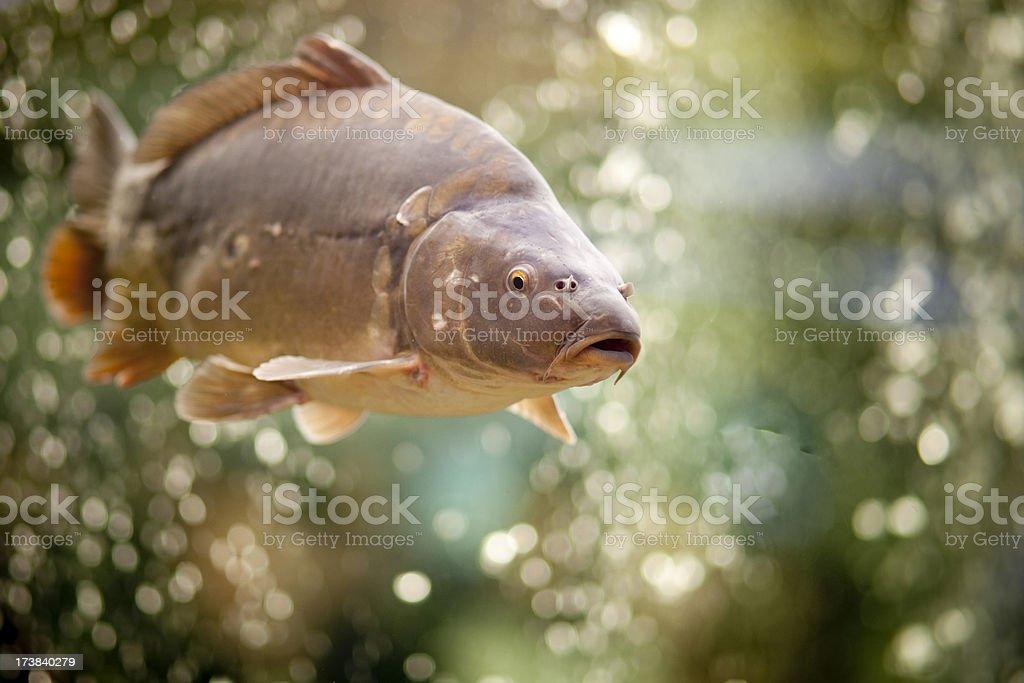 Common Carp royalty-free stock photo