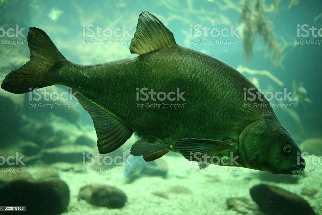 Common carp stock photo