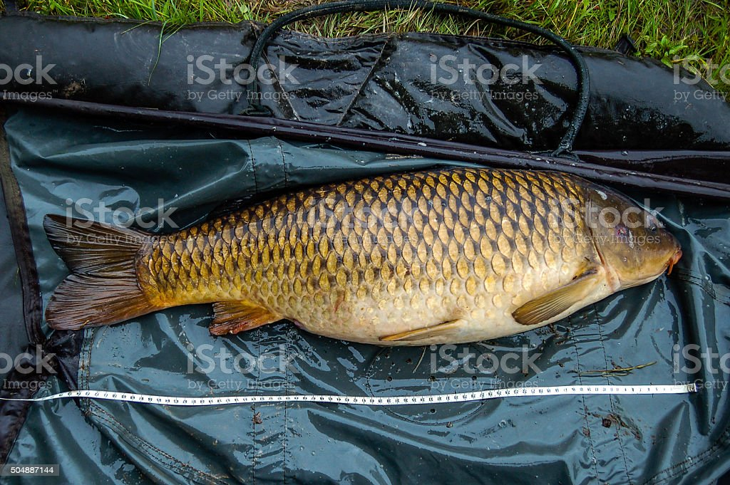 Common carp, ready for the scale stock photo
