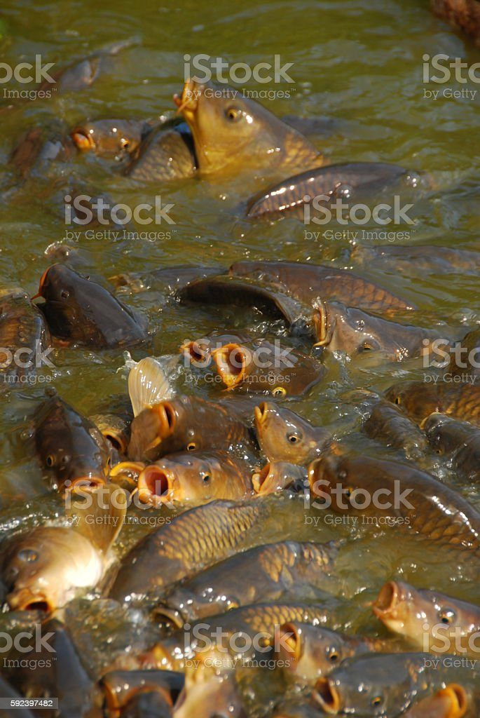 Common Carp swimming with open Beak on the watersurface. stock photo