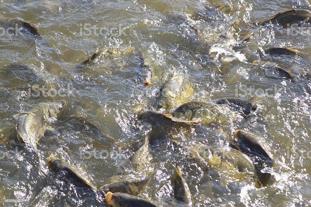 Common carps stock photo