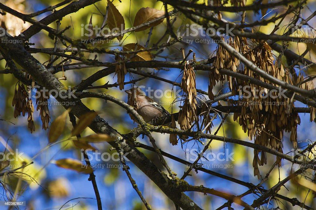 Common Chaffinch - Pajaro Pinzon stock photo