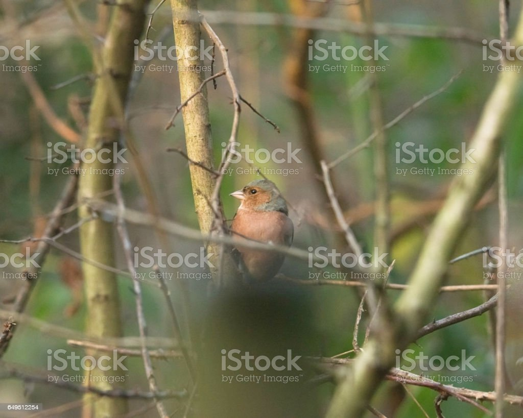 Common chaffinch perched on twig in bushes. stock photo