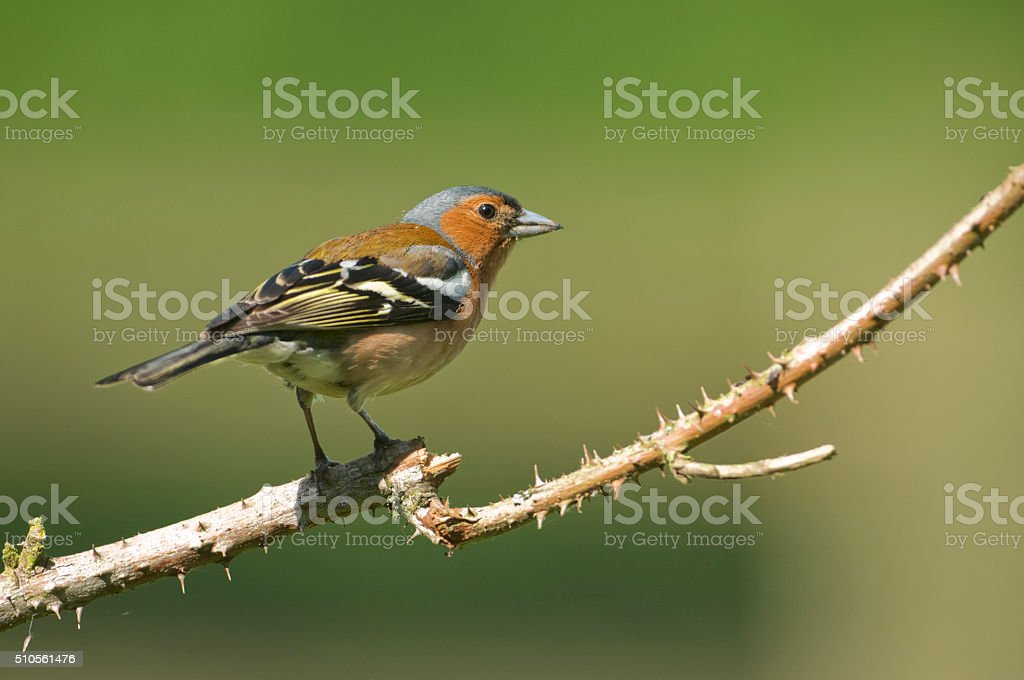 Common Chaffinch (Fringilla coelebs) stock photo