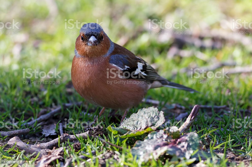 Common chaffinch standing in green grass stock photo