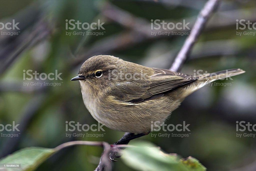 Common Chiffchaff bird in close-up stock photo