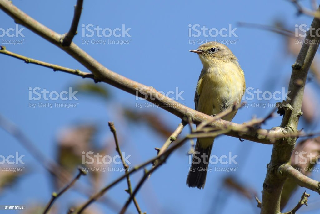 common chiffchaff (Phylloscopus collybita) on a branch against the blue sky, a small bird from the family of leaf warbler, close up protrait stock photo
