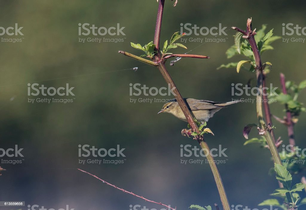 Common Chiffchaff (Phylloscopus collybita) stock photo