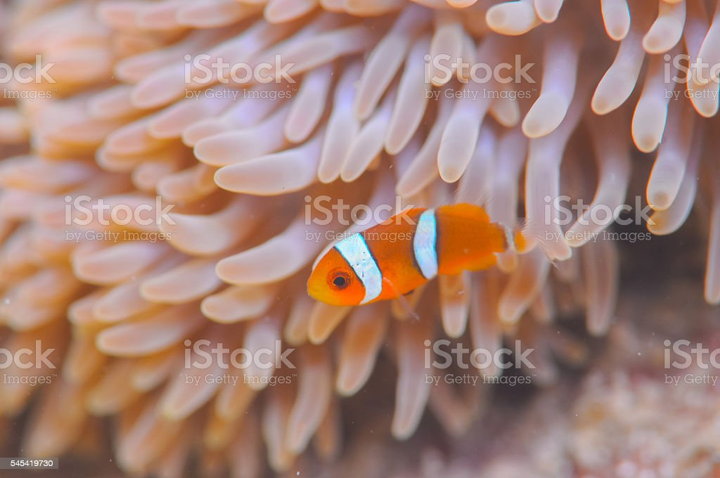 Common Clownfish foto de stock royalty-free