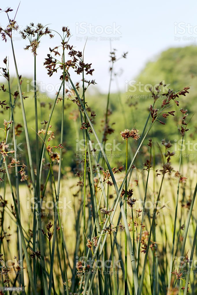 Common Club-rush or Bulrush (Scirpus lacustris) royalty-free stock photo