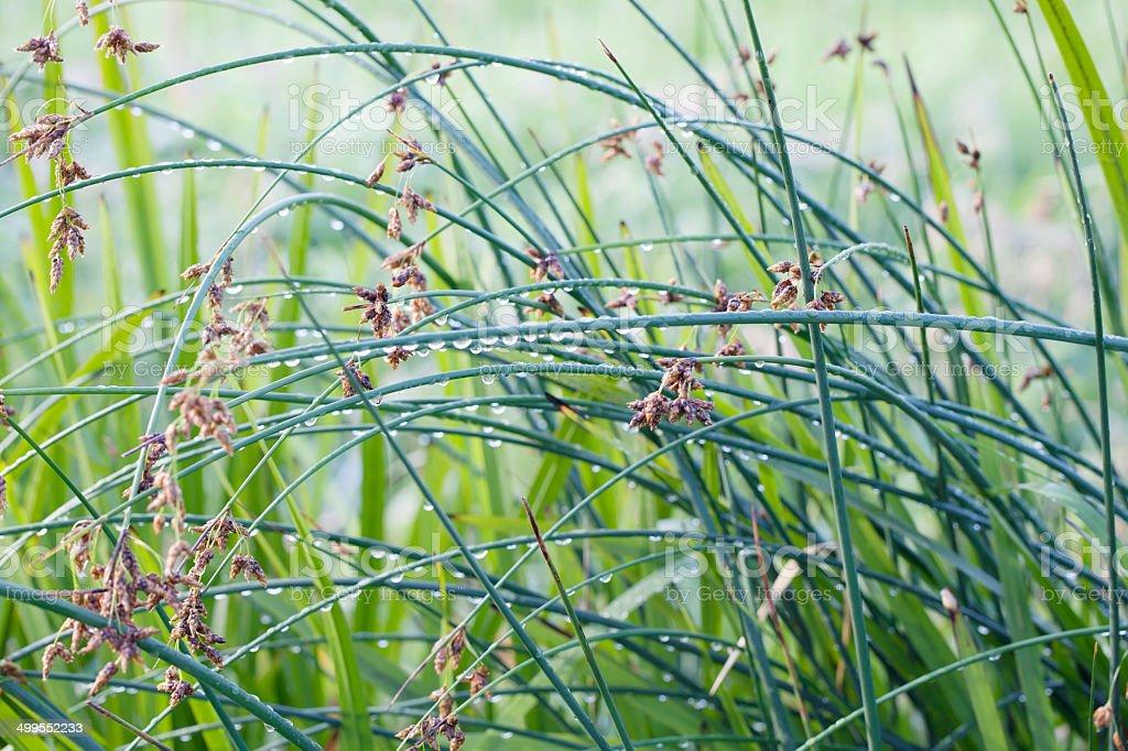 Common Club-rush or Bulrush (Scirpus lacustris) royalty-free stock photo