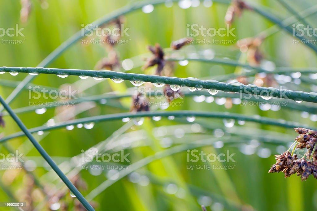 Common Club-rush or Bulrush (Scirpus lacustris) stock photo