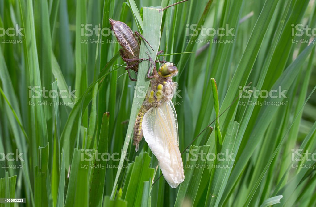 Common Clubtail Emerging From Its Larva stock photo