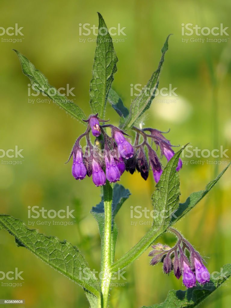 Common comfrey (Symphytum officinale) stock photo