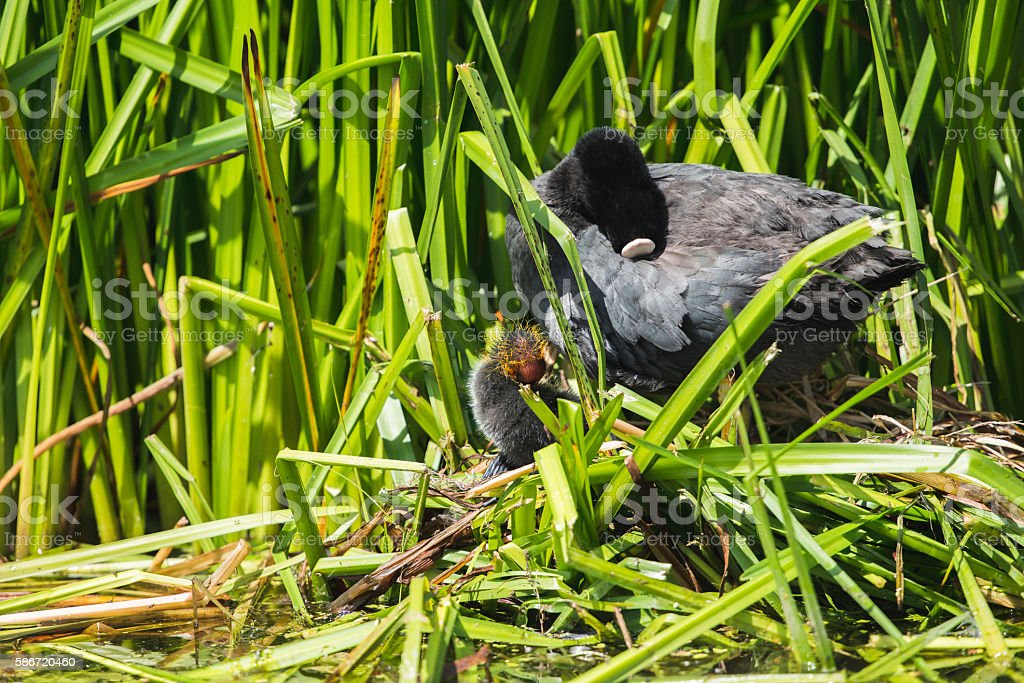 Common Coot (Fulica atra) parent with chick on nest, Leiden. stock photo