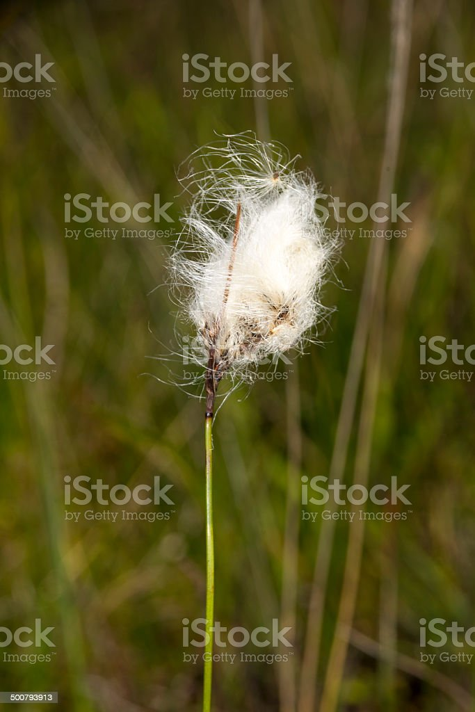 Common Cotton-grass royalty-free stock photo