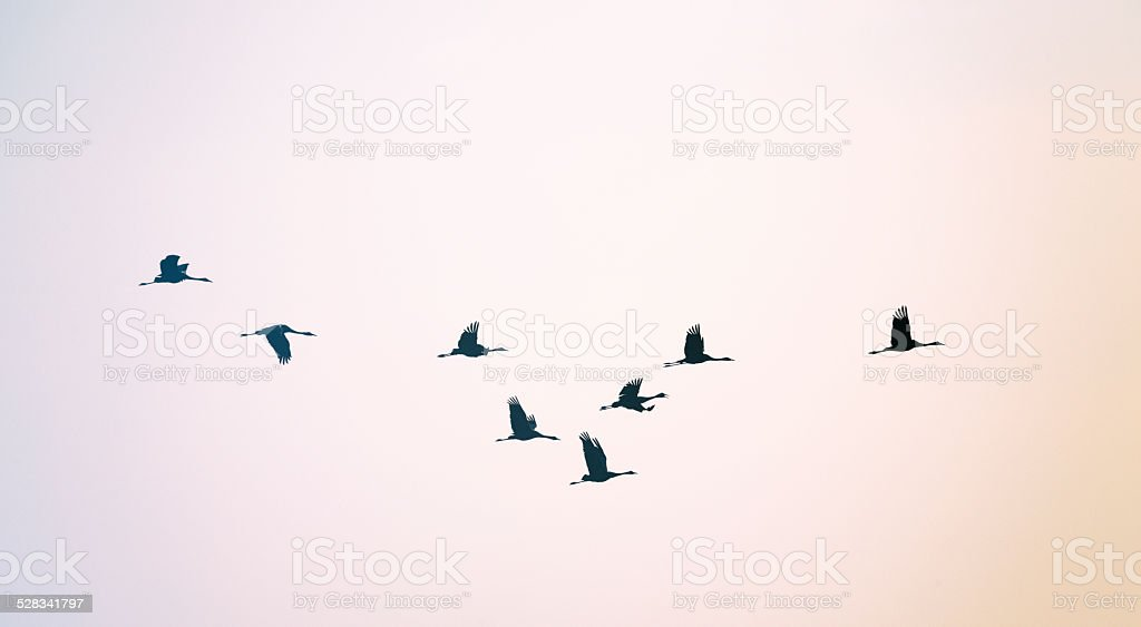 Common crane [Grus grus] stock photo