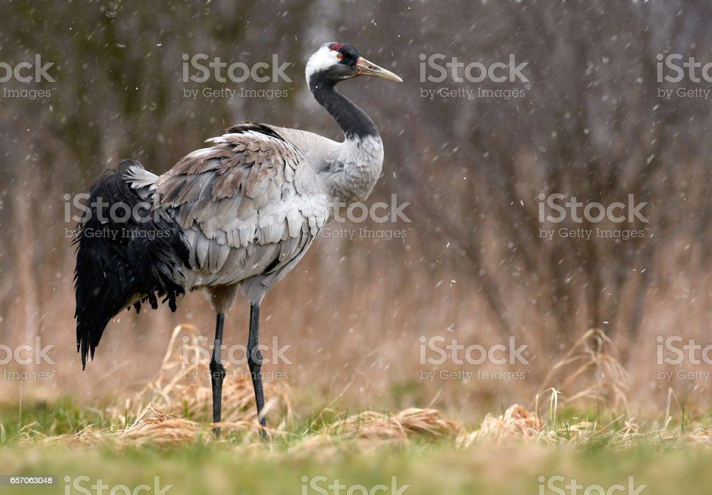 Common crane stock photo