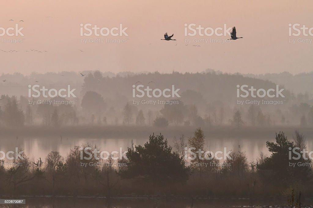 Common Cranes flying, Germany stock photo
