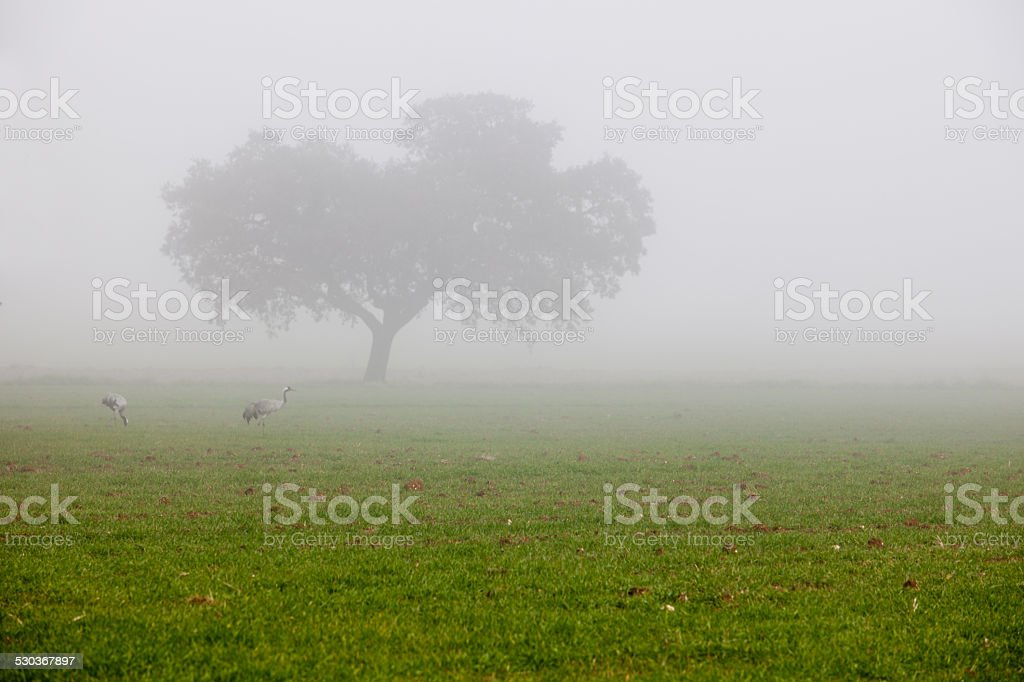 Common Cranes grazing a dense fog day stock photo