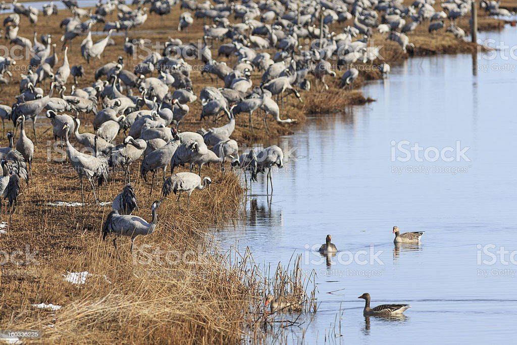 Common Cranes on field at the lake royalty-free stock photo