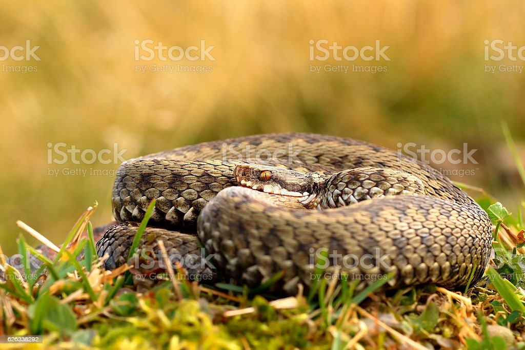 common crossed adder basking stock photo