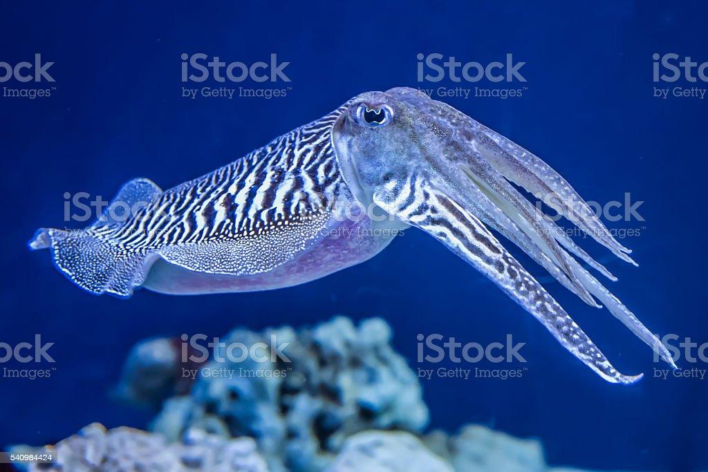 Common Cuttlefish stock photo