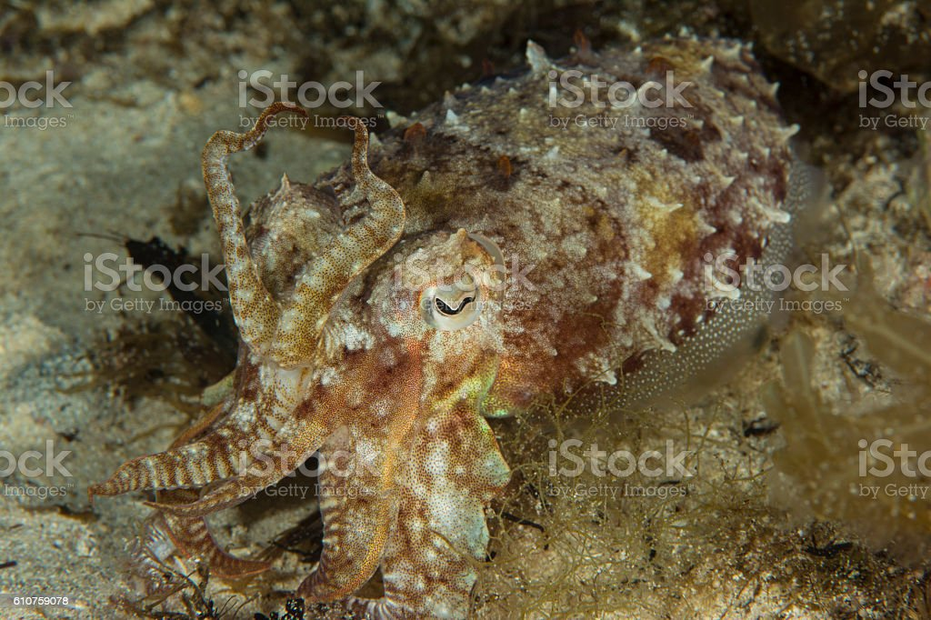 common cuttlefish - sepia officinalis stock photo
