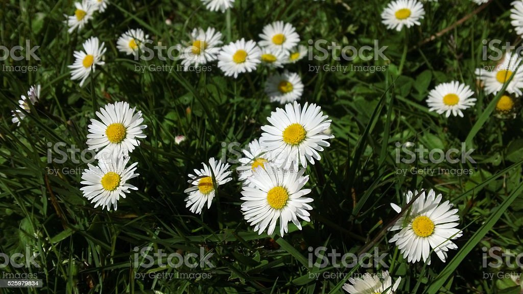 Common daisies (Bellis perennis) in a lawn stock photo