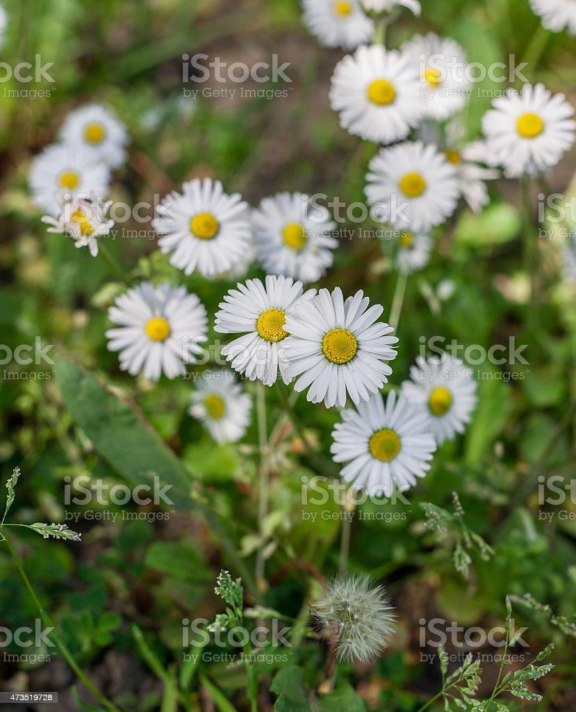 Common daisies royalty-free stock photo