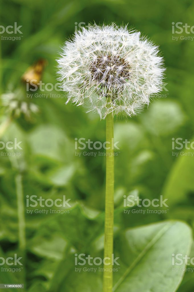 Common dandelion seed head. royalty-free stock photo