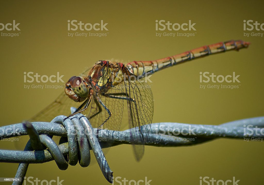 Common Darter Dragonfly stock photo