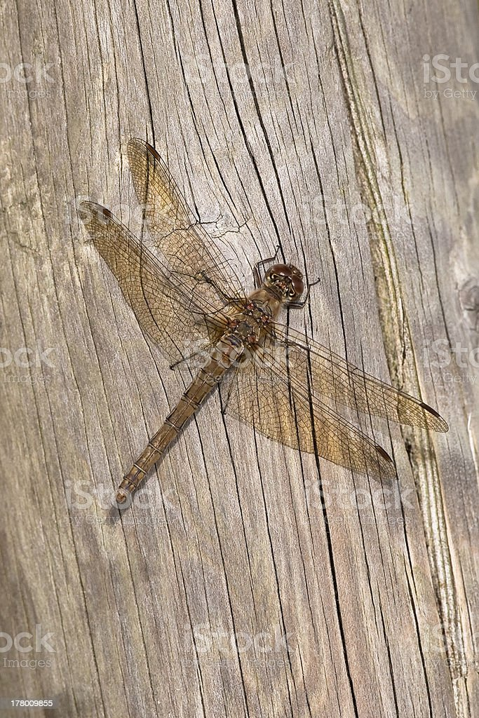 Common Darter dragonfly resting on wood stock photo