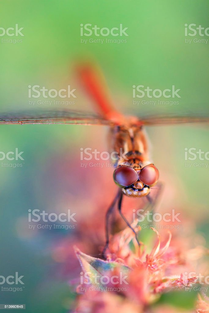 Common Darter, male stock photo