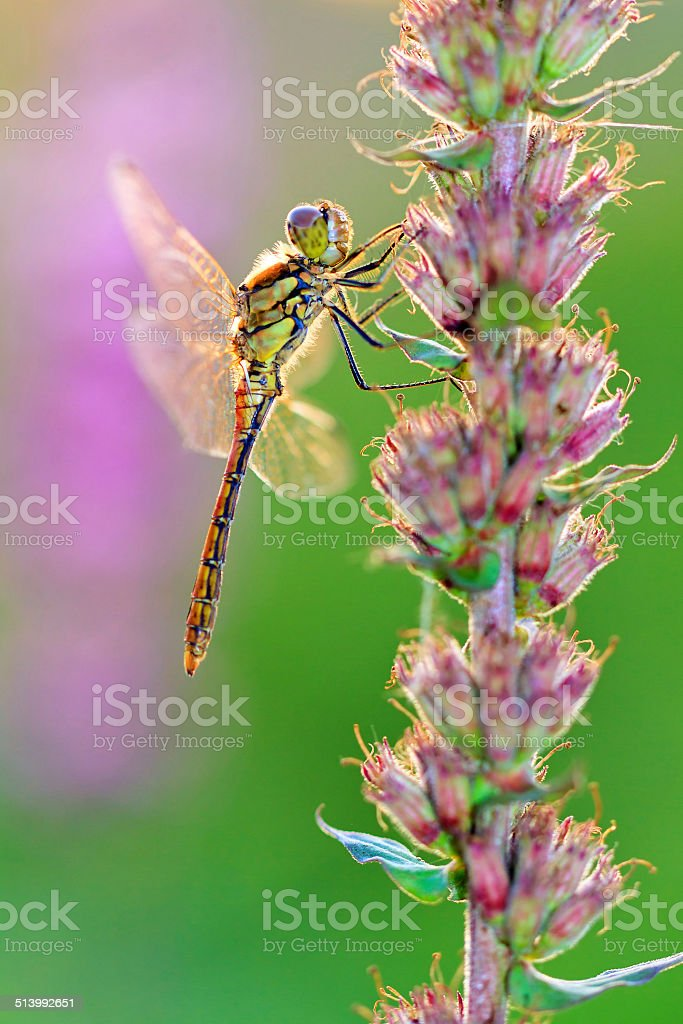 Common Darter stock photo