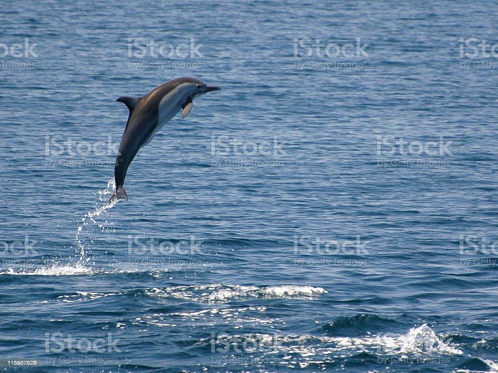 common dolphin, Delphinus delphis stock photo