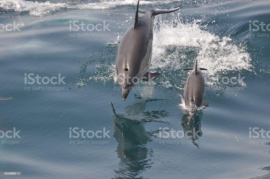Common Dolphin Mother & Calf stock photo