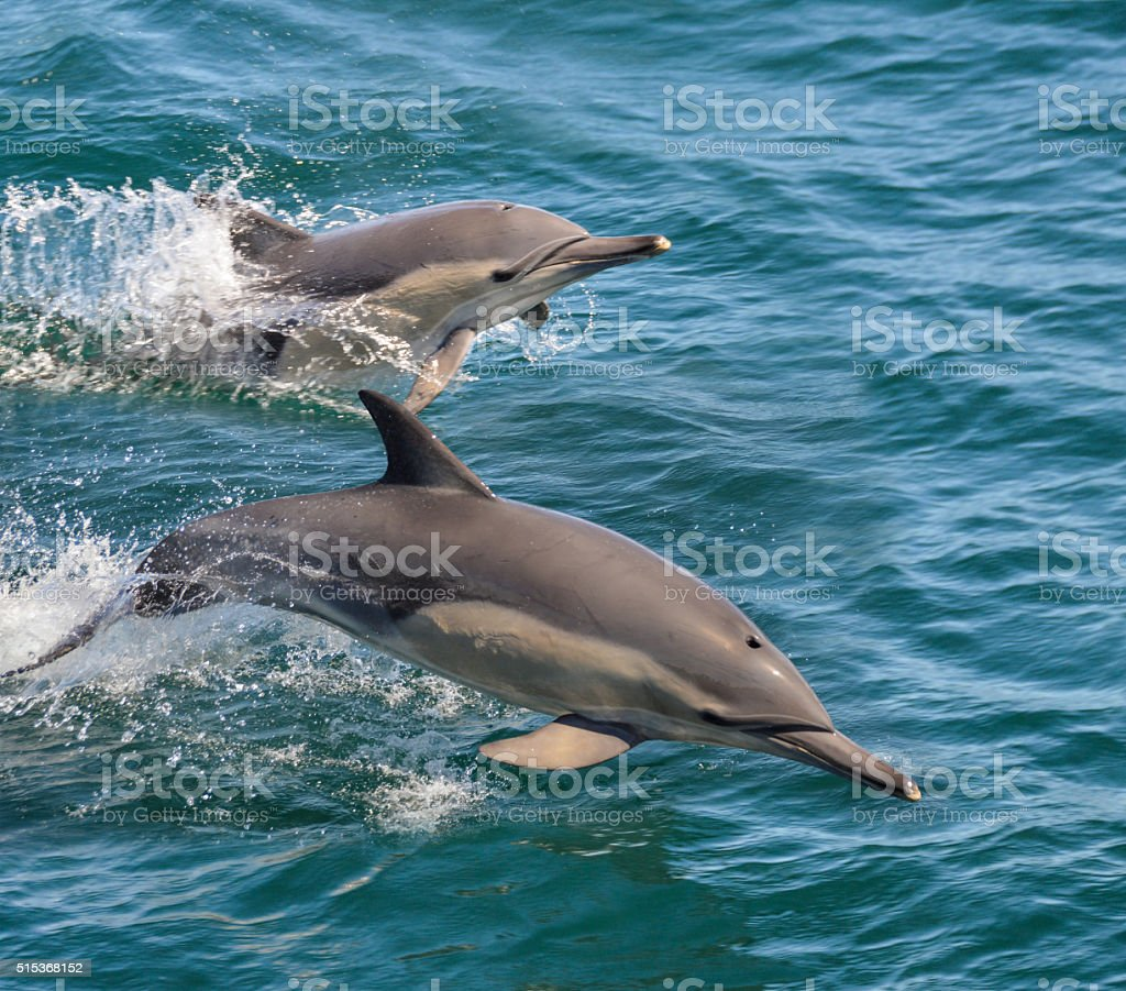 Common Dolphins stock photo