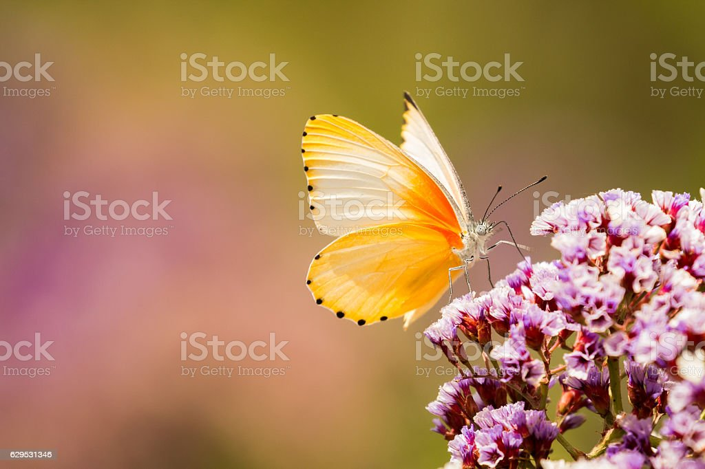 Common Dotted Border Butterfly stock photo
