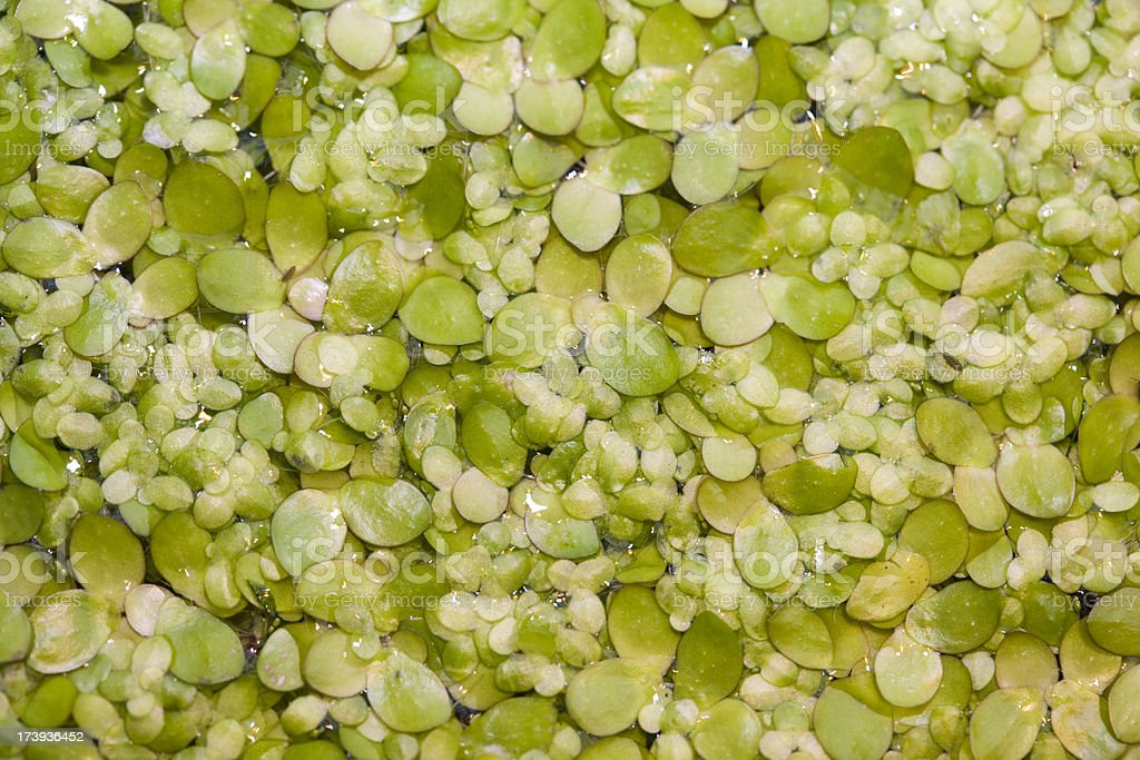 Common Duckweed (Spirodela polyrrhiza) stock photo